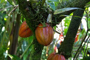 cocoa-fruit