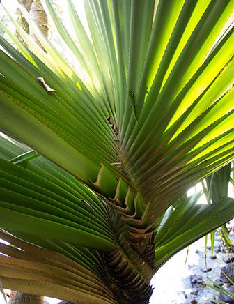 twisty-palm